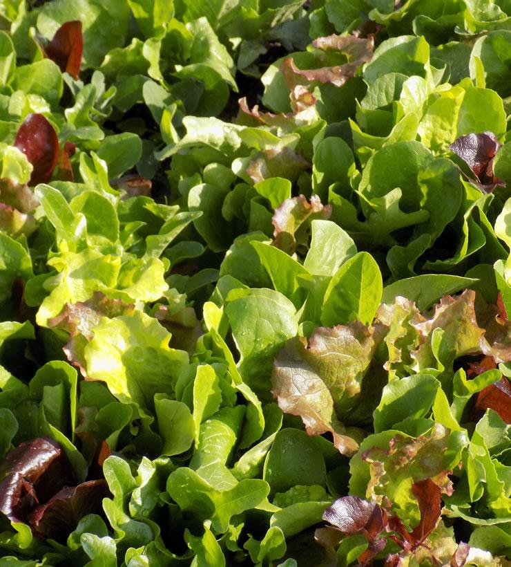 Mesclun salad greens